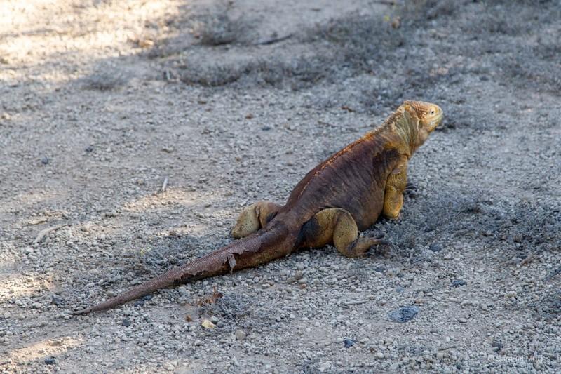 Land iguana in Urbina Bay, Isabela Island