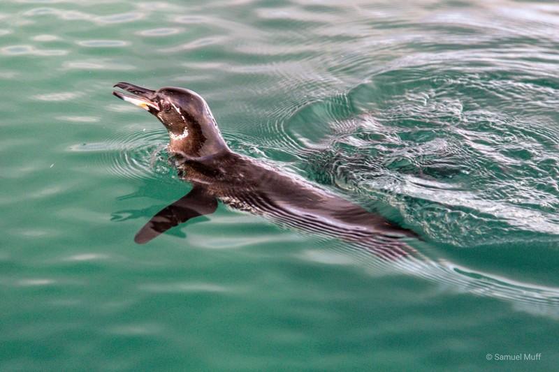 Galapagos penguin in Elizabeth Bay, Isabela Island