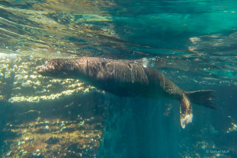 Galapagos sea lion at Punta Vicente Roca, Isabela Island