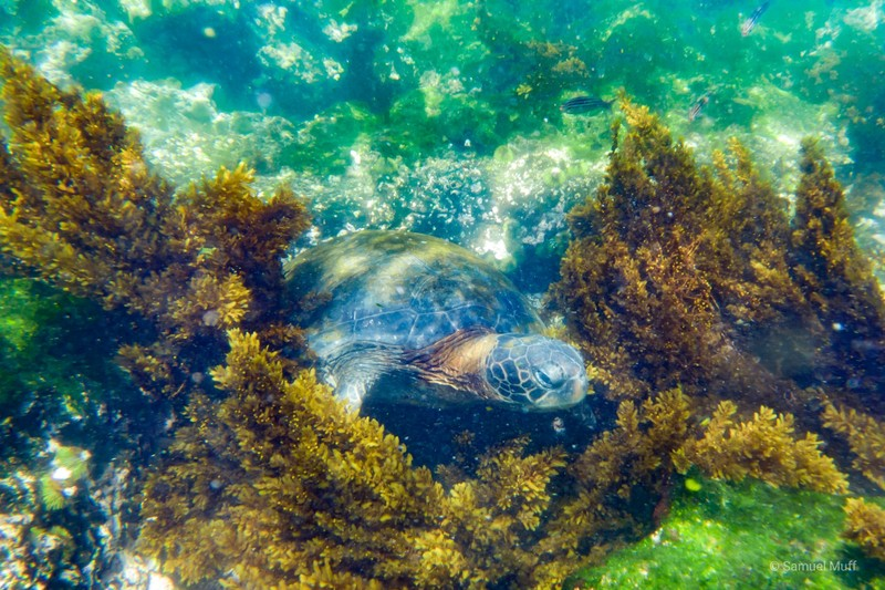 Sea turtle feeding in the waters of Fernandina Island