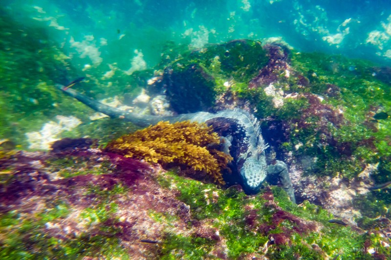Marine iguana feeding on algae in the waters of Fernandina Island