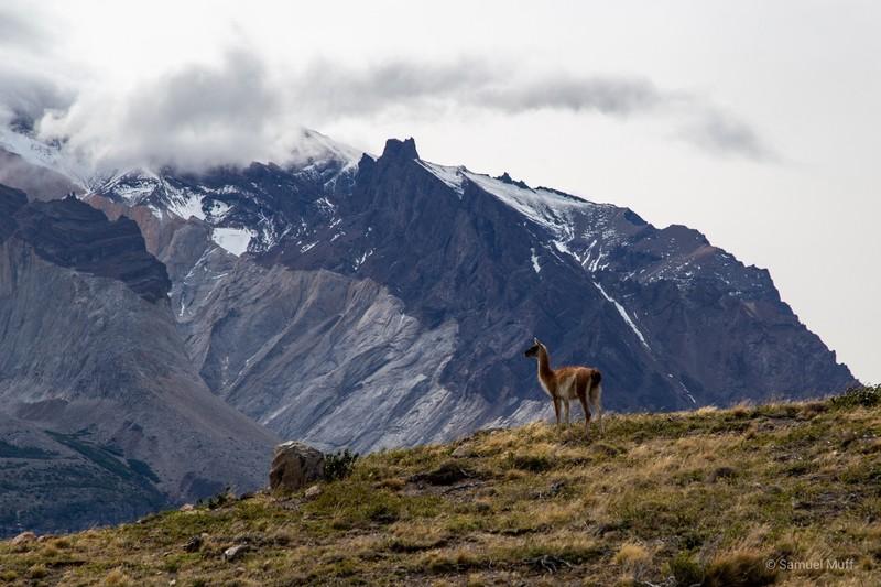 Lone guanaco in front of Los Cuernos