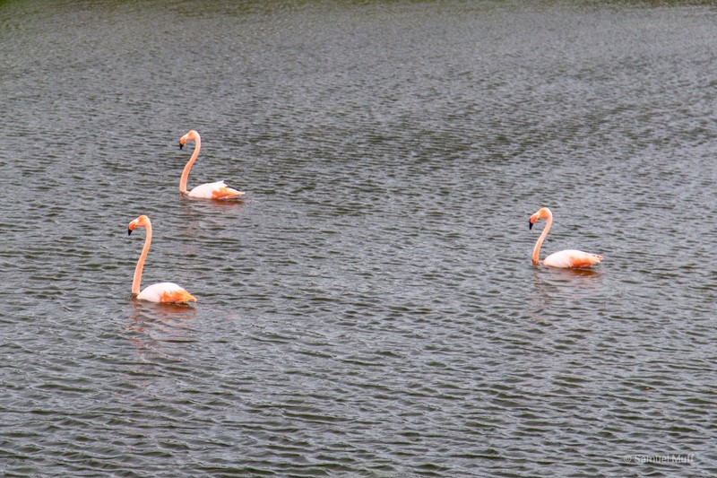 Three American flamingos in a lagoon at Punta Moreno, Isabela Island
