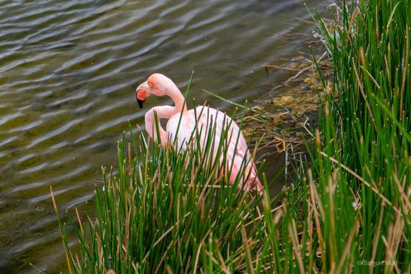 American flamingo in a lagoon at Punta Moreno, Isabela Island