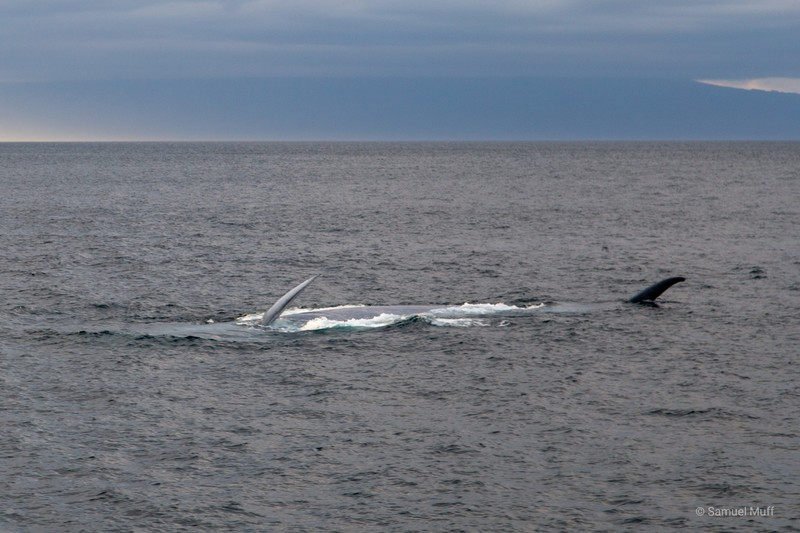 Dorsal fin and flipper of a blue whale in the West of Isabela Island