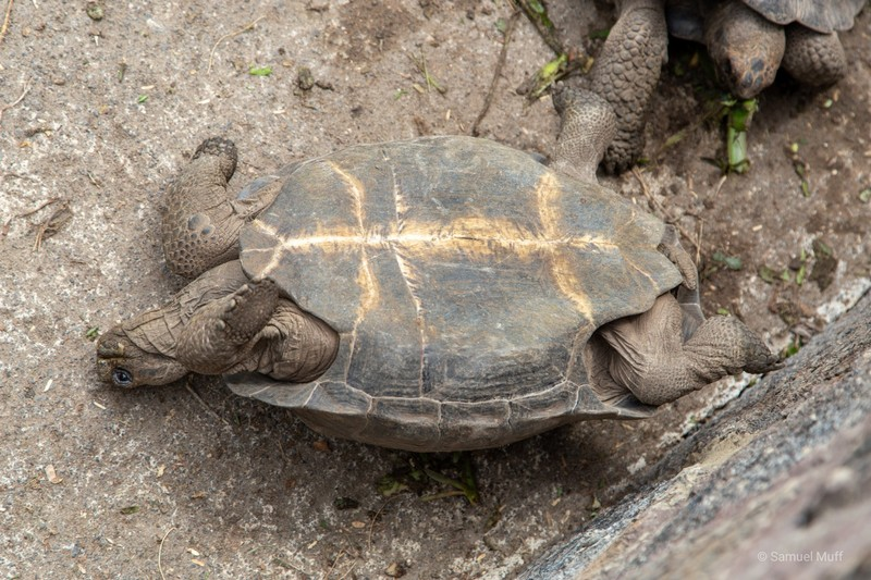 Young Galapagos tortoise on his back at the tortoise breeding center in Puerto Villamil