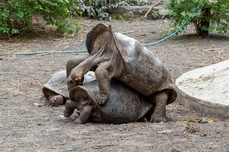 """""""And this, my child, is how the baby tortoises are made"""" (tortoise breeding center in Puerto Villamil)"""