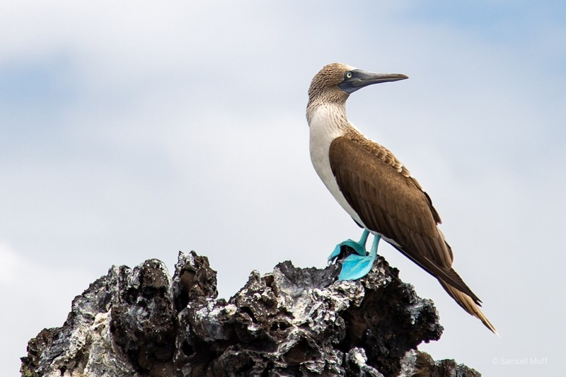 Blue-footed booby on a rock in front of Puerto Villamil, Isabela Island