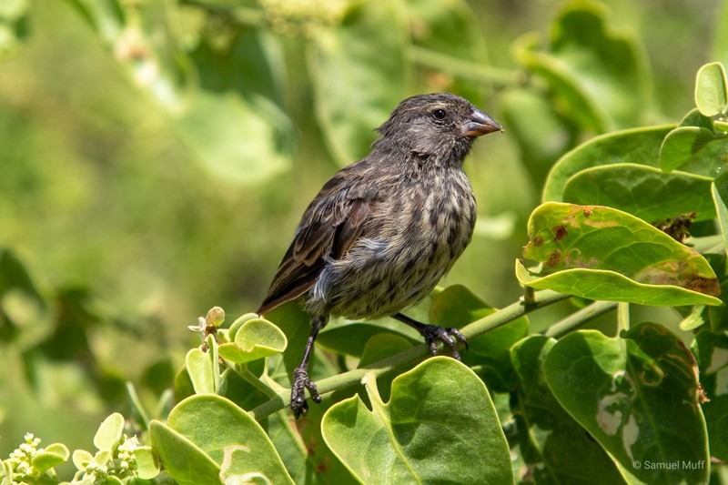 Ground finch near Puerto Ayora, Santa Cruz Island