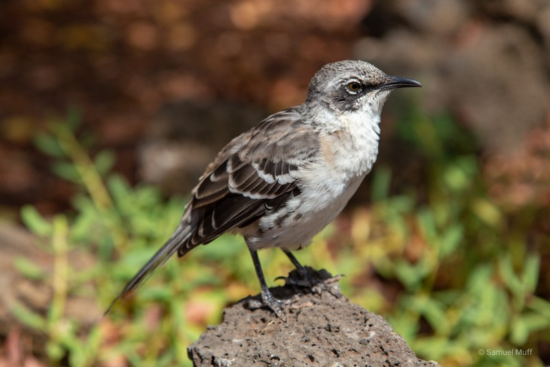 Galapagos mockingbird near Puerto Ayora on Santa Cruz Island