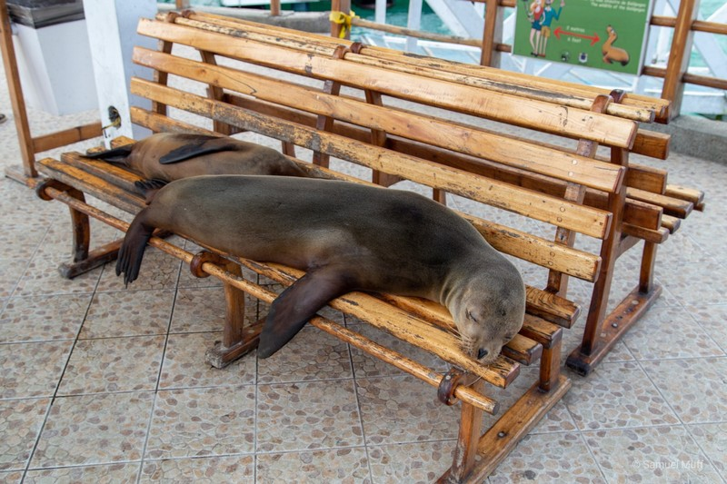Two Galapagos sea lions resting on a bench at the Puerto Ayora pier
