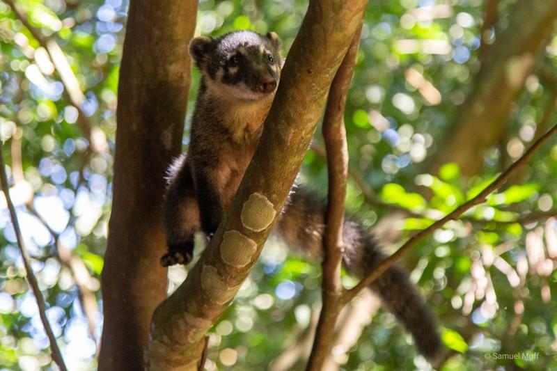 Coati climbing on a tree near Iguazú Falls