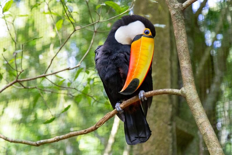 Toucan at Parque das Aves