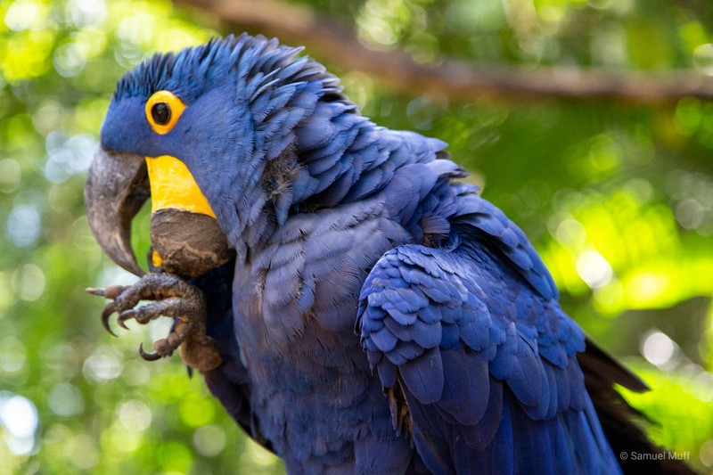 Blue macaw at Parque das Aves