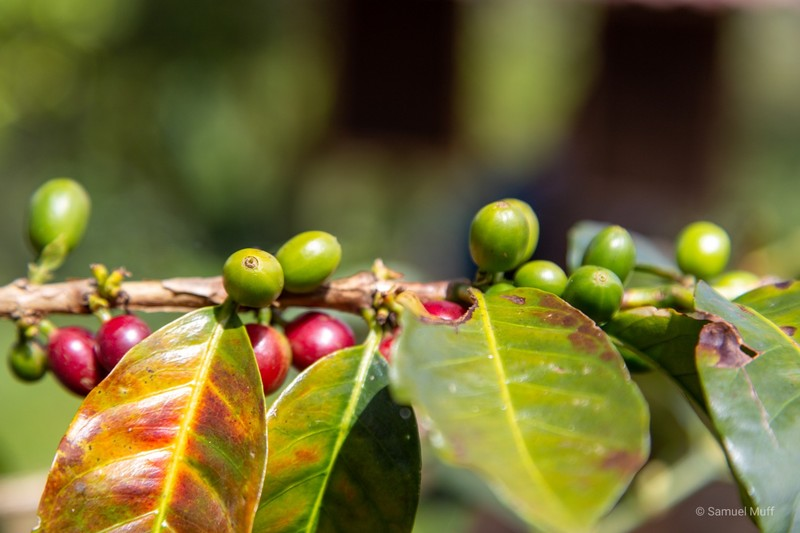 Ripe (red) and unripe (green) coffee beans