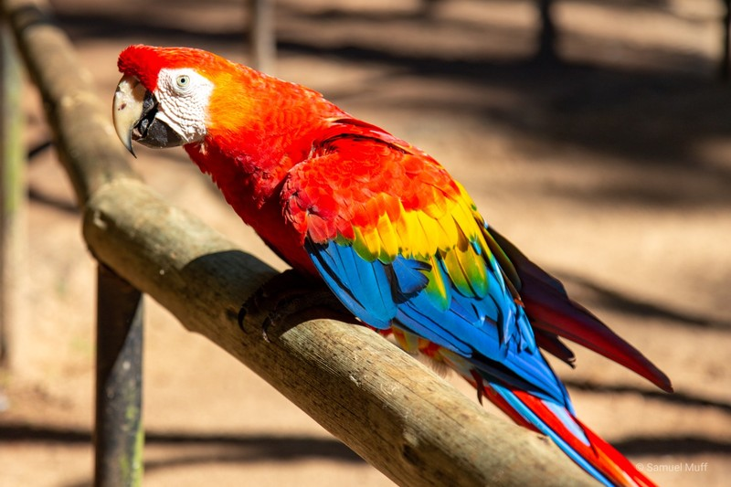Scarlet macaw at Parque das Aves