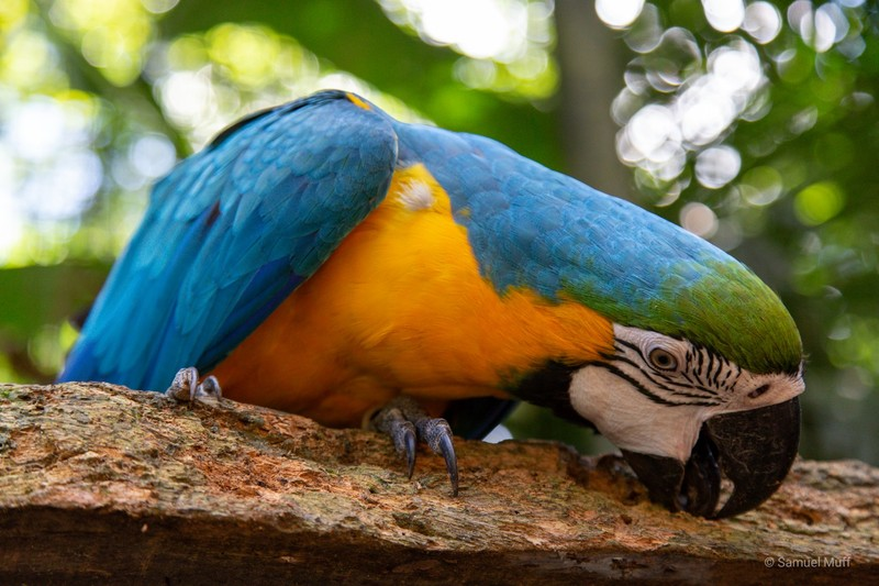 Blue-and-yellow macaw at Parque das Aves
