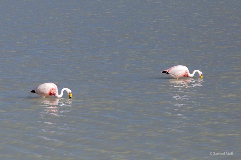 Two flamingos in Laguna Hedionda