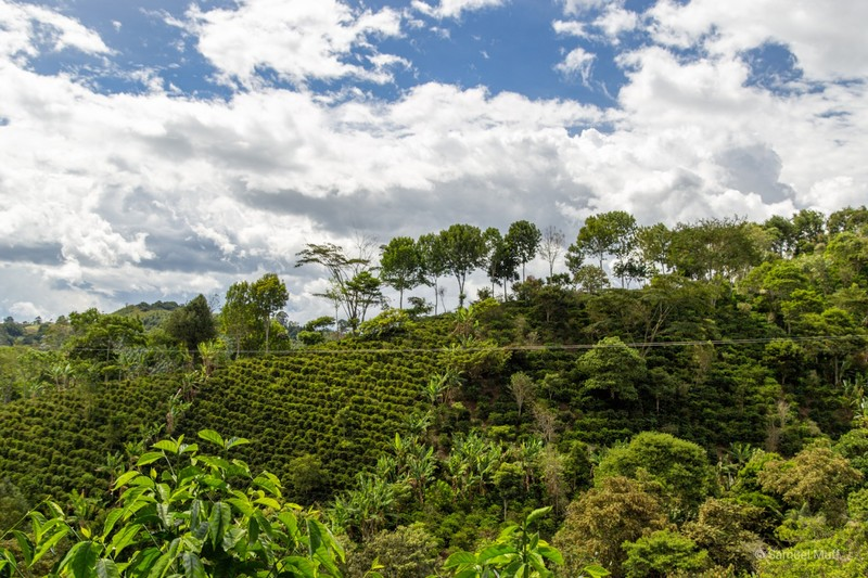 Coffee plantation in Salento