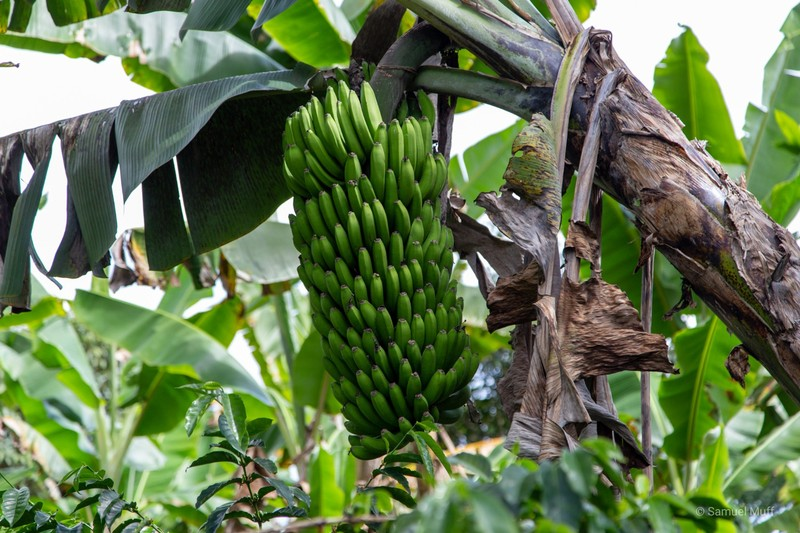Green banana bunch on a coffee plantation