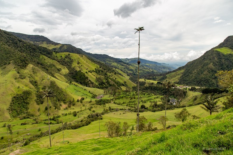 Cocora valley with giant wax palm trees