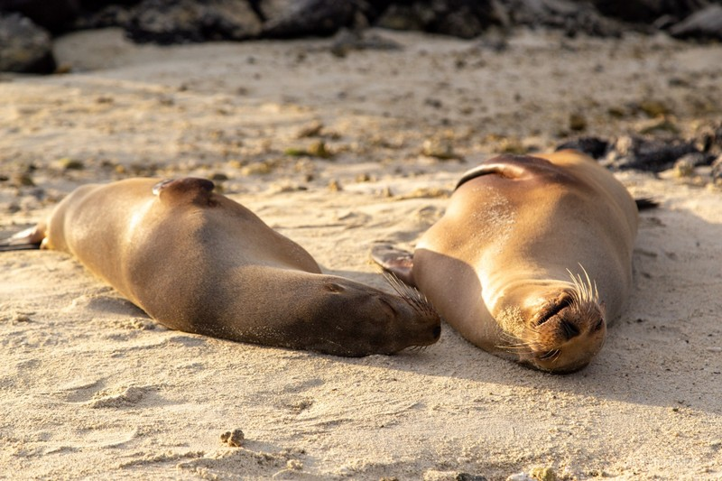 Galapagos sea lions basking in the afternoon sun on Genovesa Island