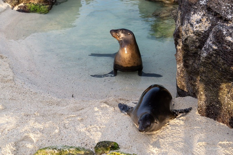 Two Galapagos sea lions at the beach on Genovesa Island