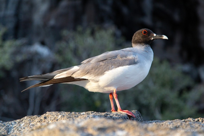 Swallow-tailed gull on Genovesa Island