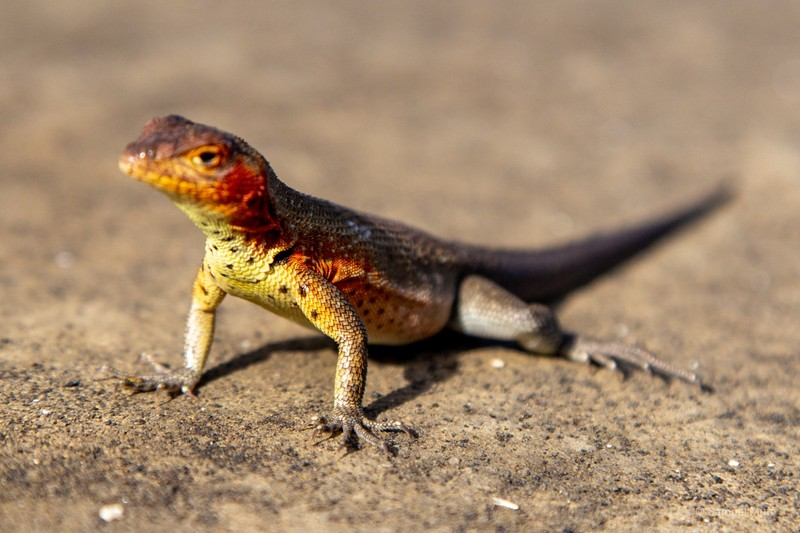 Galapagos lava lizard on Santiago Island
