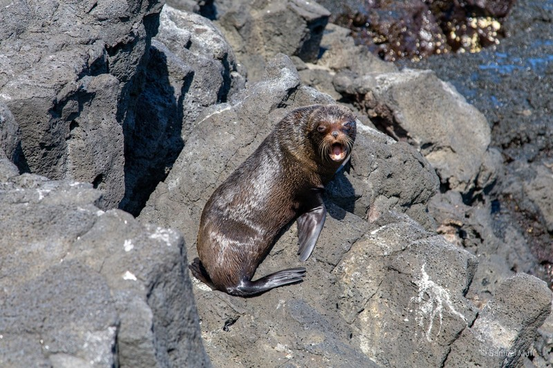Galapagos fur seal on Santiago Island