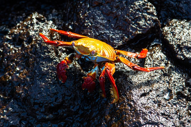 Sally lightfoot crab on Santiago Island