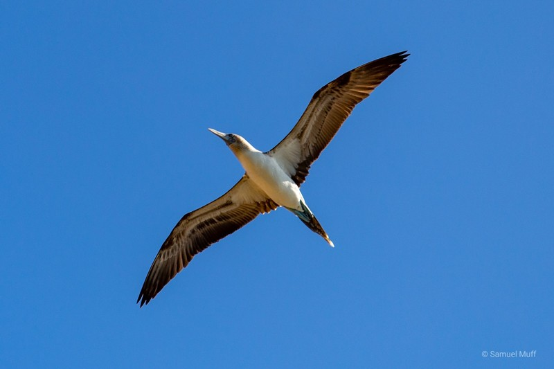 Blue-footed booby in the air near Isabela Island