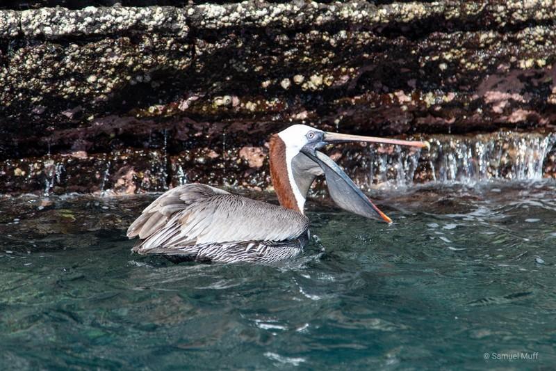 Pelican at Punta Vicente Roca, Isabela Island