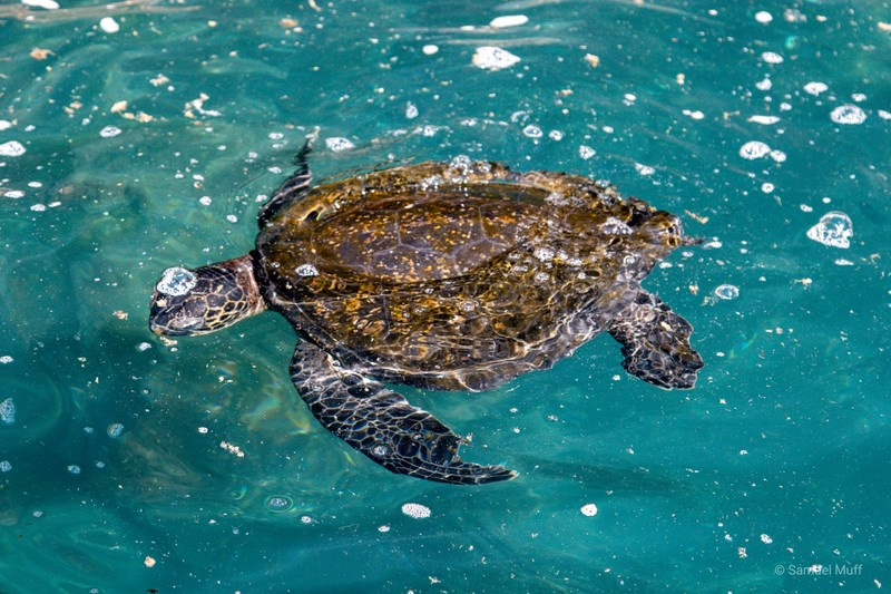Sea turtle in the waters of Punta Vicente Roca, Isabela Island