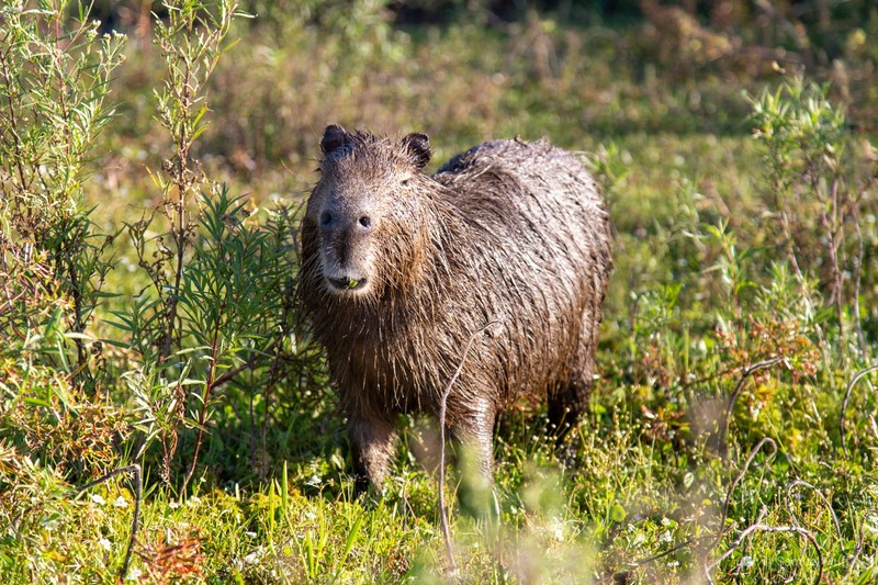 Wet capybara