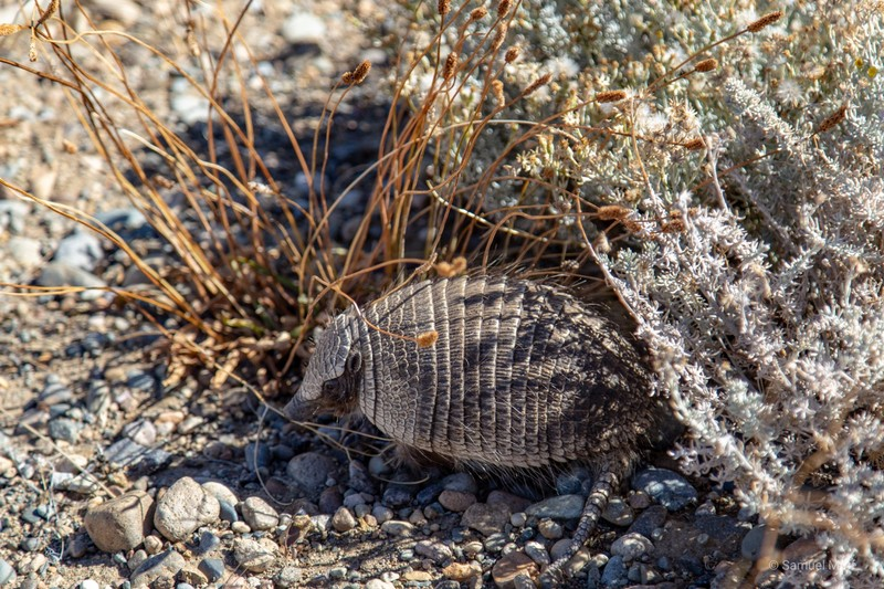 Armadillo trying to hide from Sam's camera