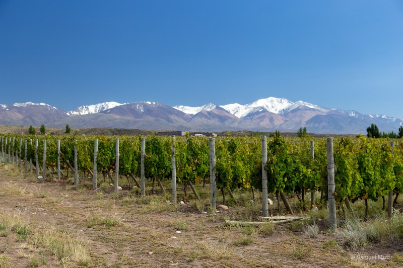 Vineyard with Andean peaks in the background