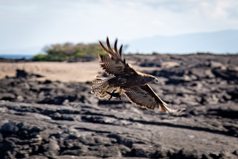 Galapagos hawk with a baby marine iguana in its claws on Fernandina Island