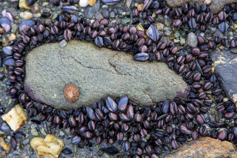 Mussels visible at low tide at the shore in Parque Nacional Tierra del Fuego