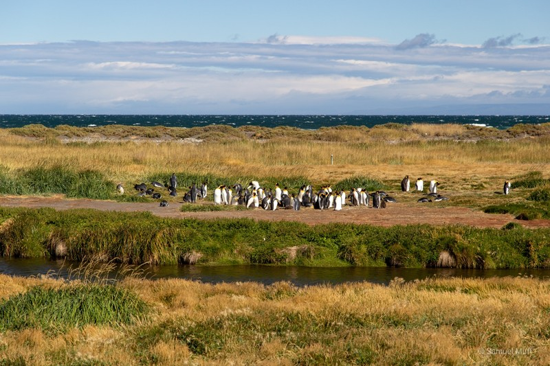 King penguin colony at Bahía Inútil