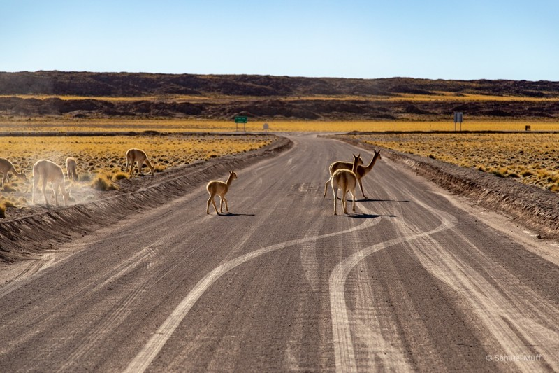Vicuñas crossing the road