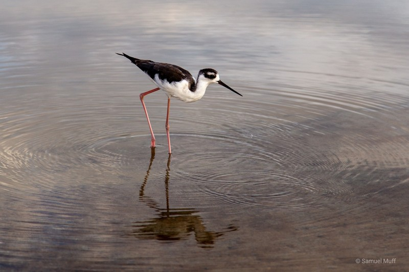 Black-necked stilt in a small lagoon on Santa Cruz Island