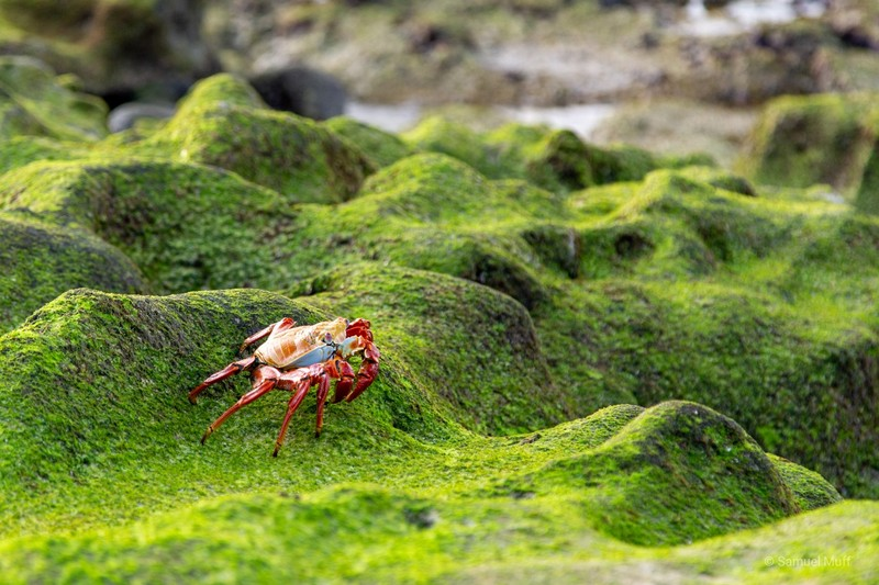 Sally lightfoot crab on Santa Cruz Island