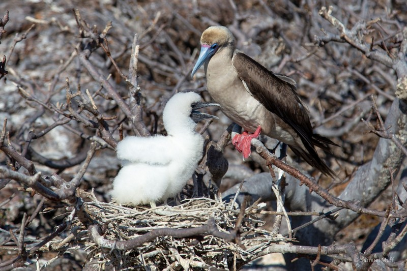 Red-footed booby with chick on Genovesa Island