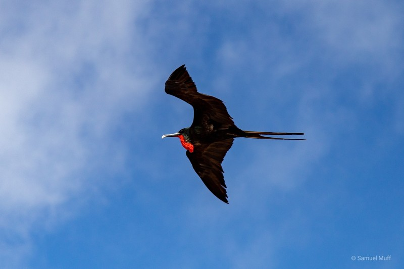 Male frigatebird in the air on Genovesa Island