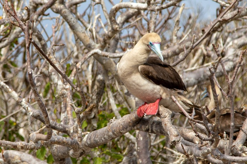 Red-footed booby on Genovesa Island