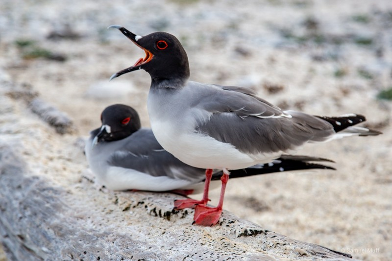 Two swallow-tailed gulls on Genovesa Island