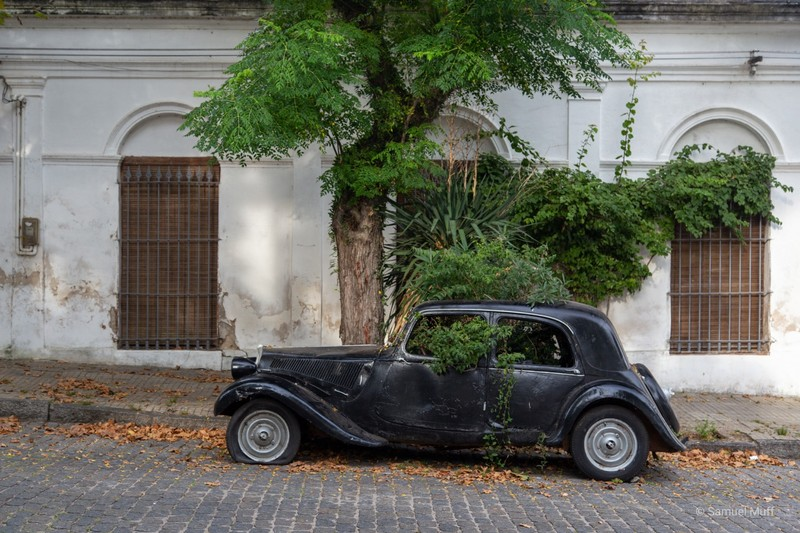 Tree growing out of an old car in Colonia del Sacramento