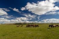Mongolian landscape with horses
