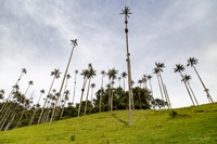 Giant wax palm trees in the Cocora valley